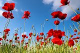 Poppies Season by Collection 12