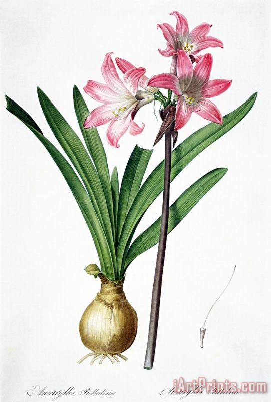 Amaryllis Belladonna From Les Liliacees Engraved By De Gouy painting - Pierre Joseph Redoute Amaryllis Belladonna From Les Liliacees Engraved By De Gouy Art Print