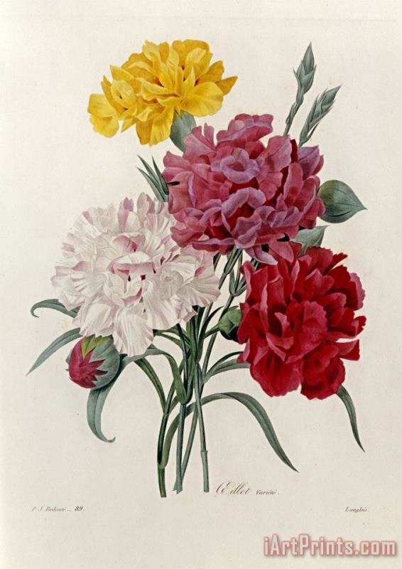 Carnations painting - Pierre Joseph Redoute Carnations Art Print