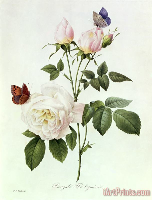 Rosa Bengale the Hymenes painting - Pierre Joseph Redoute Rosa Bengale the Hymenes Art Print