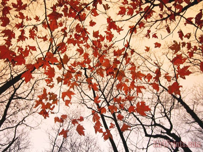 Red Maple And Autumn Sky painting - Raymond Gehman Red Maple And Autumn Sky Art Print