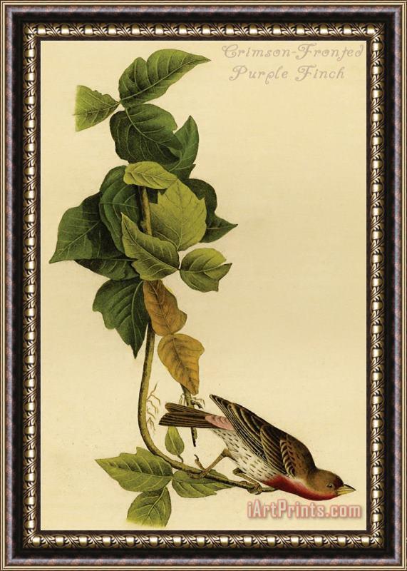 John James Audubon Crimson Fronted Purple Finch Framed Painting For Sale Iartprints Com