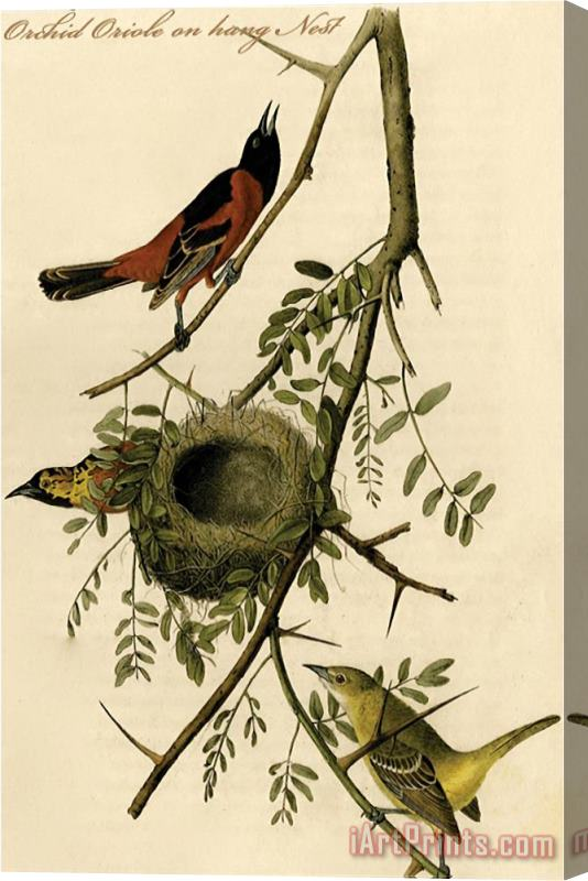 John James Audubon Orchid Oriole on Hang Nest Stretched Canvas Print / Canvas Art