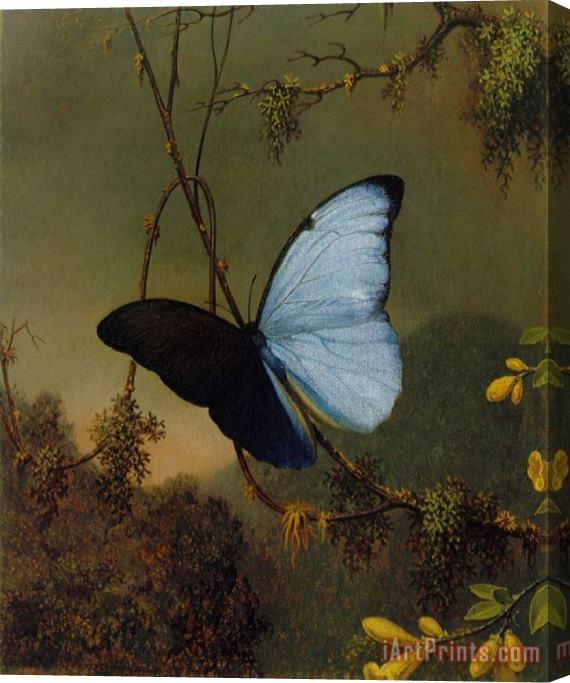 Martin Johnson Heade Blue Morpho Butterfly Stretched Canvas Print / Canvas Art