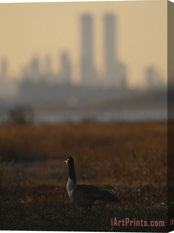 Raymond Gehman Canada Goose Branta Canadensis And Hazy Twin Towers Skyline Stretched Canvas Print