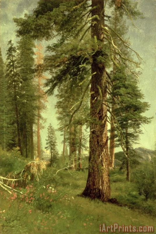 Albert Bierstadt California Redwoods Art Print