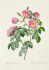 Rosa Mollissima by Claude Antoine Thory