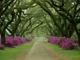 Tree Paintings - A Beautiful Pathway Lined with Trees And Purple Azaleas by Collection