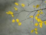 Yellow Autumnal Birch Betula Tree Limbs Against Gray Stucco Wall by Collection