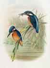 Alcedo Ispida Plate From The Birds Of Great Britain By John Gould by John Gould William Hart