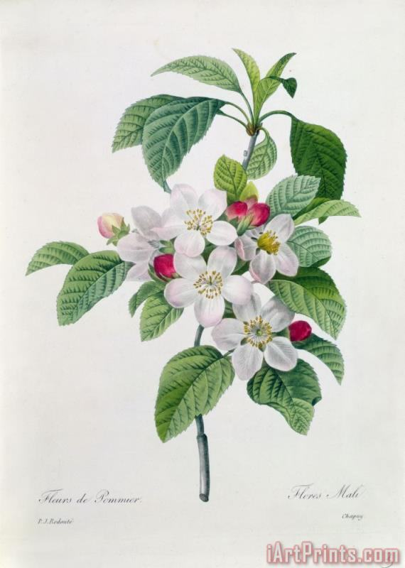 Pierre Joseph Redoute Apple Blossom Art Print