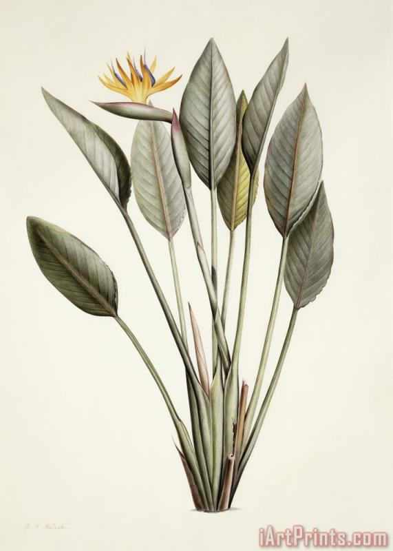 Bird Of Paradise painting - Pierre Joseph Redoute Bird Of Paradise Art Print