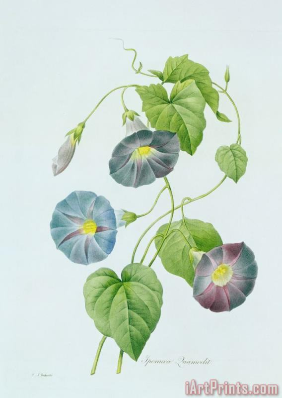 Morning Glory painting - Pierre Joseph Redoute Morning Glory Art Print