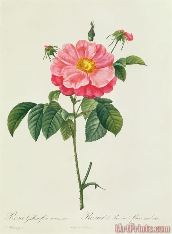 Rosa Gallica Flore Marmoreo painting - Pierre Joseph Redoute Rosa Gallica Flore Marmoreo Art Print