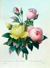 Rosa Lutea and Rosa Indica by Pierre Joseph Redoute