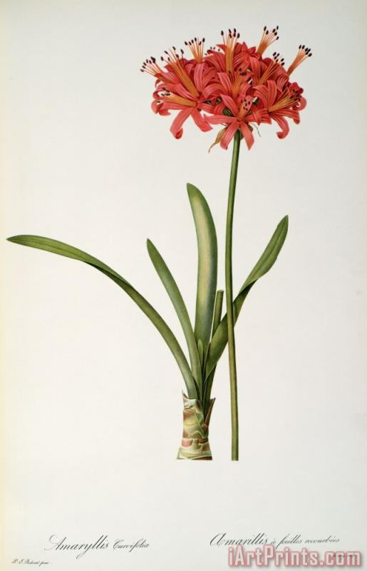 Amaryllis Curvifolia painting - Pierre Redoute Amaryllis Curvifolia Art Print