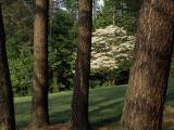 Tree Paintings - Blooming Dogwood Tree Among Pine Trees by Raymond Gehman