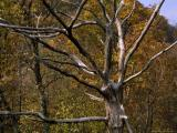 Tree Paintings - Dead Tree Snag with Autumn Hued Trees Around It by Raymond Gehman