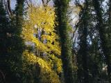 Tree Paintings - Yellow Fall Foliage on Maple Trees And Ivy Entwined Tree Trunks by Raymond Gehman